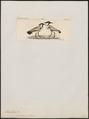 Hoplopterus ventralis - 1820-1860 - Print - Iconographia Zoologica - Special Collections University of Amsterdam - UBA01 IZ17200157.tif