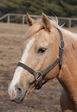 Horse wearing a nylon web halter (US) or headcollar. Horse headshot 4397.jpg
