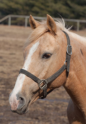 Halter - Horse wearing a nylon web halter (US) or headcollar.