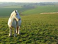 Horse on Uffcott Down - geograph.org.uk - 701871.jpg