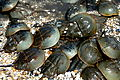 Horseshoe Crabs mating.jpg