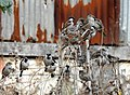 House Sparrow Passer domesticus flock by Raju Kasambe DSCN2160 (1) 10.jpg
