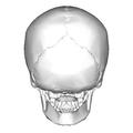 Human skull - posterior view.png