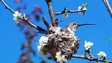 Hummingbird Incubating4.jpg
