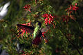 Hummingbird in ggp 20.jpg