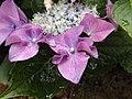 Hydrangea macrophylla Conservatory.jpg