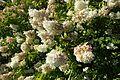 Hydrangea paniculata 'Grandiflora' kz3.jpg