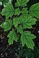 Hydrangea quercifolia in Jardin botanique de la Charme 03.jpg