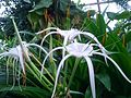 Hymenocallis Caribaea.jpg