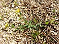Hypericum humifusum sl3.jpg