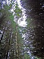 I want to be a pine tree - geograph.org.uk - 980052.jpg