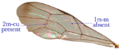 Ichneumonid fore wing.png