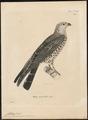 Ictynia plumbeus - 1700-1880 - Print - Iconographia Zoologica - Special Collections University of Amsterdam - UBA01 IZ18200382.tif