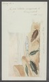 Idotea emarginata - - Print - Iconographia Zoologica - Special Collections University of Amsterdam - UBAINV0274 098 06 0003.tif