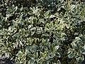 Ilex aquifolium 'Watereriana'.jpg