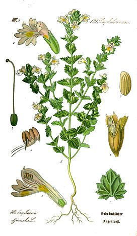 Illustration Euphrasia rostkoviana0 clean.jpg