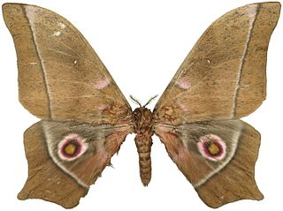 <i>Imbrasia epimethea</i> species of insect
