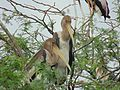 Immature painted stork nesting.jpg