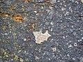 Impact breccia (Sandcherry Member, Onaping Formation, Paleoproterozoic, 1.85 Ga; High Falls roadcut, Sudbury Impact Structure, Ontario, Canada) 24 (33882699308).jpg