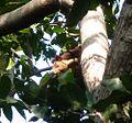 Indian Giant Squirrel. Ratufa indica elphenstoni - Flickr - gailhampshire (2).jpg
