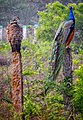 Indian Peafowl pair.jpg