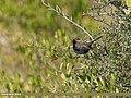 Indian Robin (Saxicoloides fulicatus) (24769537267).jpg