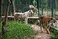 Indian tigers.jpg