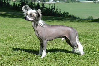 Chinese Crested Dog - Hairless Chinese crested dog standing