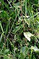 Inula conyzae ENBLA02.jpg
