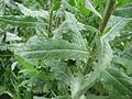 Inula viscosa1.jpg