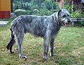 Irischer-wolfshund-2001-3.jpg