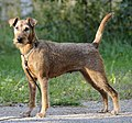Irish Terrier CR.jpg