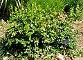 Ixora 'Singapore' - Naples Botanical Garden - Naples, Florida - DSC09822.jpg