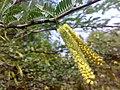 JNU Mulberry tree.jpg