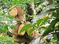 Jackfruit (Kathal).jpg
