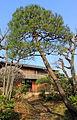 Japanese Red Pine (Japanese garden).JPG