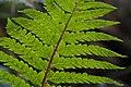 Japanese tassel fern (Polystichum polyblepharum) (2) (16421711563).jpg