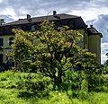 Japanischer Ahorn Queen-Auguste-Victoria-Park (Umkirch) jm30910.jpg
