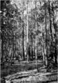 Jarrah Regrowth in Primer of Forestry Poole 1922.png