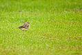 Jerdon's Bushlark at Madayippara.jpg