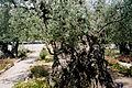 Jerozolima ogrod oliwny 2000 v04.jpg