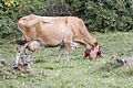 Jersey cattle in Sisdağı 01.jpg