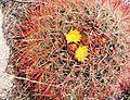 Joshua Tree National Park - Barrel Cactus (Ferocactus cylindraceus) - 3.JPG
