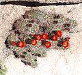 Joshua Tree National Park - Mojave Mound Cactus (Echinocereus triglochidiatus) - 10.JPG