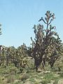 Joshua tree in Arizona 2.jpg