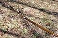 Juglans regia (English Walnut, Persian Walnut) (32397621893).jpg