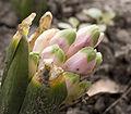 KM 4023 budding pink hyacinth.jpg