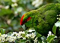 Kakariki, the red-crowned parakeet.(Cyanoramphus novaezelandiae) (9118899767).jpg