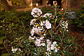 Kalmia latifolia 'Elf' IMG 2360.jpg
