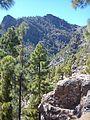 Kanári fenyők Gran Canaria.jpg